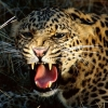Download snarling cheetah wallpapers, snarling cheetah wallpapers Free Wallpaper download for Desktop, PC, Laptop. snarling cheetah wallpapers HD Wallpapers, High Definition Quality Wallpapers of snarling cheetah wallpapers.
