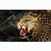 Snarling Cheetah Wallpapers
