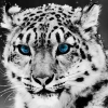 Download snow blue eye leopard wallpapers, snow blue eye leopard wallpapers Free Wallpaper download for Desktop, PC, Laptop. snow blue eye leopard wallpapers HD Wallpapers, High Definition Quality Wallpapers of snow blue eye leopard wallpapers.