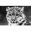 Snow Blue Eye Leopard Wallpapers