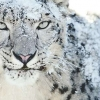 Download snow leopard cover, snow leopard cover  Wallpaper download for Desktop, PC, Laptop. snow leopard cover HD Wallpapers, High Definition Quality Wallpapers of snow leopard cover.