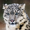 Download snow leopard wallpapers, snow leopard wallpapers Free Wallpaper download for Desktop, PC, Laptop. snow leopard wallpapers HD Wallpapers, High Definition Quality Wallpapers of snow leopard wallpapers.