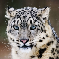 Snow Leopard Wallpapers