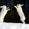 Download snow rabbits hd wallpapers, snow rabbits hd wallpapers Free Wallpaper download for Desktop, PC, Laptop. snow rabbits hd wallpapers HD Wallpapers, High Definition Quality Wallpapers of snow rabbits hd wallpapers.