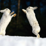 Snow Rabbits Hd Wallpapers