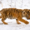 Download snow tiger cub wallpapers, snow tiger cub wallpapers Free Wallpaper download for Desktop, PC, Laptop. snow tiger cub wallpapers HD Wallpapers, High Definition Quality Wallpapers of snow tiger cub wallpapers.