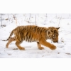 Snow Tiger Cub Wallpapers