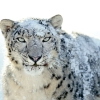 Download snow white leopard wide wallpapers, snow white leopard wide wallpapers Free Wallpaper download for Desktop, PC, Laptop. snow white leopard wide wallpapers HD Wallpapers, High Definition Quality Wallpapers of snow white leopard wide wallpapers.