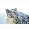 Snow White Leopard Wide Wallpapers