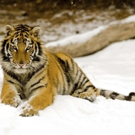 Snowy Afternoon Tiger Wallpapers