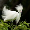 Download snowy egret in breeding plumage wallpapers, snowy egret in breeding plumage wallpapers Free Wallpaper download for Desktop, PC, Laptop. snowy egret in breeding plumage wallpapers HD Wallpapers, High Definition Quality Wallpapers of snowy egret in breeding plumage wallpapers.