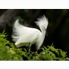 Snowy Egret In Breeding Plumage Wallpapers