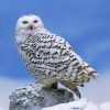 Download snowy owl wallpapers, snowy owl wallpapers Free Wallpaper download for Desktop, PC, Laptop. snowy owl wallpapers HD Wallpapers, High Definition Quality Wallpapers of snowy owl wallpapers.