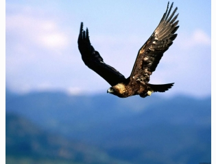 Soring High Golden Eagle Hd Wallpapers
