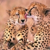 Download south african cheetahs wallpapers, south african cheetahs wallpapers Free Wallpaper download for Desktop, PC, Laptop. south african cheetahs wallpapers HD Wallpapers, High Definition Quality Wallpapers of south african cheetahs wallpapers.