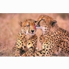 South African Cheetahs Wallpapers