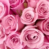 Download special pink roses, special pink roses  Wallpaper download for Desktop, PC, Laptop. special pink roses HD Wallpapers, High Definition Quality Wallpapers of special pink roses.