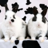 Download spotted rabbits wallpapers, spotted rabbits wallpapers Free Wallpaper download for Desktop, PC, Laptop. spotted rabbits wallpapers HD Wallpapers, High Definition Quality Wallpapers of spotted rabbits wallpapers.