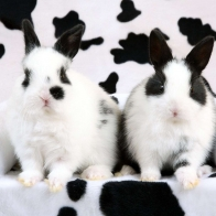 Spotted Rabbits Wallpapers