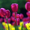 Download spring tulips, spring tulips  Wallpaper download for Desktop, PC, Laptop. spring tulips HD Wallpapers, High Definition Quality Wallpapers of spring tulips.