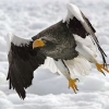 Download stellers sea eagle wallpapers, stellers sea eagle wallpapers Free Wallpaper download for Desktop, PC, Laptop. stellers sea eagle wallpapers HD Wallpapers, High Definition Quality Wallpapers of stellers sea eagle wallpapers.