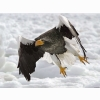 Stellers Sea Eagle Wallpapers
