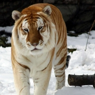 Strange Snow Tiger Wallpapers