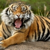 Download sumatran dangerous tiger wallpapers, sumatran dangerous tiger wallpapers Free Wallpaper download for Desktop, PC, Laptop. sumatran dangerous tiger wallpapers HD Wallpapers, High Definition Quality Wallpapers of sumatran dangerous tiger wallpapers.
