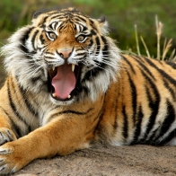 Sumatran Dangerous Tiger Wallpapers
