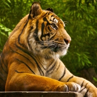 Sumatran Tiger Wallpapers