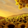 Download sun flower world hd, sun flower world hd  Wallpaper download for Desktop, PC, Laptop. sun flower world hd HD Wallpapers, High Definition Quality Wallpapers of sun flower world hd.