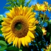 Download sun flower, sun flower  Wallpaper download for Desktop, PC, Laptop. sun flower HD Wallpapers, High Definition Quality Wallpapers of sun flower.