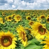 Download sunflowers cover, sunflowers cover  Wallpaper download for Desktop, PC, Laptop. sunflowers cover HD Wallpapers, High Definition Quality Wallpapers of sunflowers cover.