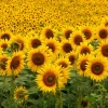 Download sunflowers, sunflowers  Wallpaper download for Desktop, PC, Laptop. sunflowers HD Wallpapers, High Definition Quality Wallpapers of sunflowers.