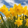 Download sunny daffodils, sunny daffodils  Wallpaper download for Desktop, PC, Laptop. sunny daffodils HD Wallpapers, High Definition Quality Wallpapers of sunny daffodils.