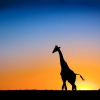 Download sunset amp giraffe botswana wallpapers, sunset amp giraffe botswana wallpapers Free Wallpaper download for Desktop, PC, Laptop. sunset amp giraffe botswana wallpapers HD Wallpapers, High Definition Quality Wallpapers of sunset amp giraffe botswana wallpapers.
