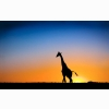 Sunset Amp Giraffe Botswana Wallpapers