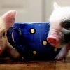 Download teacup pigs cover, teacup pigs cover  Wallpaper download for Desktop, PC, Laptop. teacup pigs cover HD Wallpapers, High Definition Quality Wallpapers of teacup pigs cover.