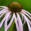 Download tennessee coneflower, tennessee coneflower  Wallpaper download for Desktop, PC, Laptop. tennessee coneflower HD Wallpapers, High Definition Quality Wallpapers of tennessee coneflower.
