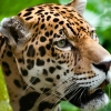 Download the big cat wide hd wallpapers, the big cat wide hd wallpapers Free Wallpaper download for Desktop, PC, Laptop. the big cat wide hd wallpapers HD Wallpapers, High Definition Quality Wallpapers of the big cat wide hd wallpapers.