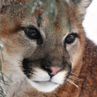 The Cougar Wallpapers