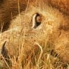 Download the eye of lion wallpapers, the eye of lion wallpapers Free Wallpaper download for Desktop, PC, Laptop. the eye of lion wallpapers HD Wallpapers, High Definition Quality Wallpapers of the eye of lion wallpapers.