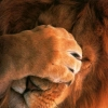 Download the lion wallpapers, the lion wallpapers Free Wallpaper download for Desktop, PC, Laptop. the lion wallpapers HD Wallpapers, High Definition Quality Wallpapers of the lion wallpapers.