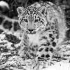 Download the snow leopard wallpapers, the snow leopard wallpapers Free Wallpaper download for Desktop, PC, Laptop. the snow leopard wallpapers HD Wallpapers, High Definition Quality Wallpapers of the snow leopard wallpapers.
