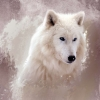 Download the wolf wallpapers, the wolf wallpapers Free Wallpaper download for Desktop, PC, Laptop. the wolf wallpapers HD Wallpapers, High Definition Quality Wallpapers of the wolf wallpapers.