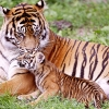 Download tiger amp baby tiger wallpapers, tiger amp baby tiger wallpapers Free Wallpaper download for Desktop, PC, Laptop. tiger amp baby tiger wallpapers HD Wallpapers, High Definition Quality Wallpapers of tiger amp baby tiger wallpapers.