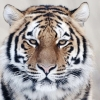 Download tiger close up wallpapers, tiger close up wallpapers Free Wallpaper download for Desktop, PC, Laptop. tiger close up wallpapers HD Wallpapers, High Definition Quality Wallpapers of tiger close up wallpapers.