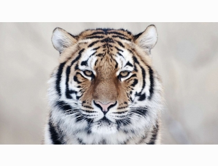 Tiger Close Up Wallpapers