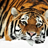Tiger Hd 1080p Wallpapers