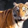 Download tiger hd wallpapers, tiger hd wallpapers Free Wallpaper download for Desktop, PC, Laptop. tiger hd wallpapers HD Wallpapers, High Definition Quality Wallpapers of tiger hd wallpapers.